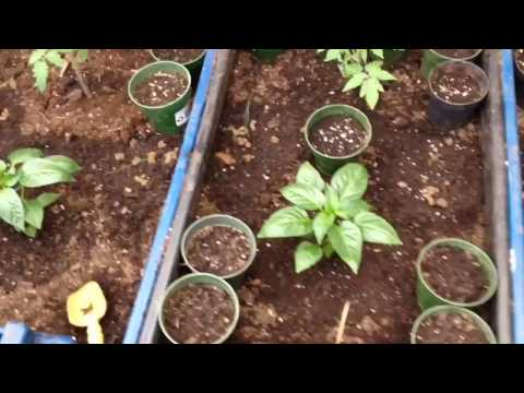 sowing leeks, sunflowers and the greenhouse