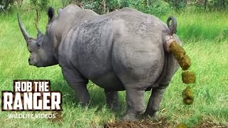 getlinkyoutube.com-White Rhino Marking His Territory