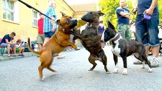 getlinkyoutube.com-Staffordshire Bullterrier GBF Clubschau 2013 (Part 1 Males)