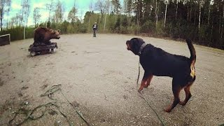 getlinkyoutube.com-rottweiler bear test