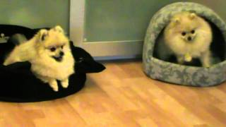 getlinkyoutube.com-PomDeluxe pomeranians doing funny and silly tricks vol.3