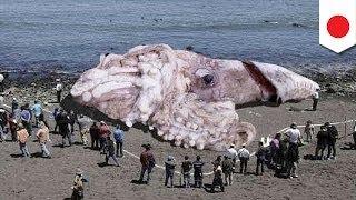 getlinkyoutube.com-原発原因? 巨大イカの正体は