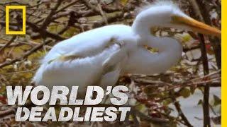 getlinkyoutube.com-Piranhas Devour Chick | World's Deadliest
