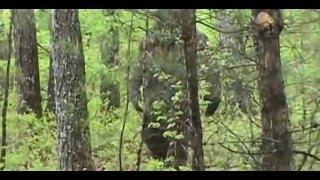 getlinkyoutube.com-New Amazing Real Bigfoot Footage in HD