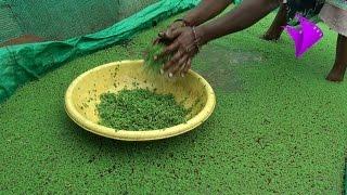 Azolla Cultivation Method