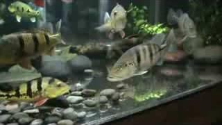 getlinkyoutube.com-MONSTER FISH KEEPER
