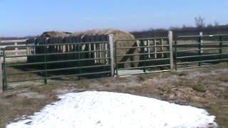 getlinkyoutube.com-Cattle Winter Feeding Structure