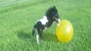 "getlinkyoutube.com-Adorable ""Beau"", 2010 black and white Miniature Colt having fun with his ""ball"""