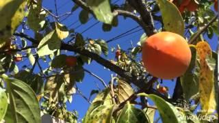 getlinkyoutube.com-เก็บลูกพลับที่สวน  persimmon my garden