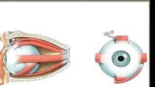 Välise silma lihased | Meditsiiniline mäng