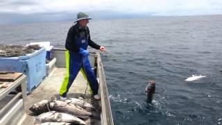 getlinkyoutube.com-groper fishing