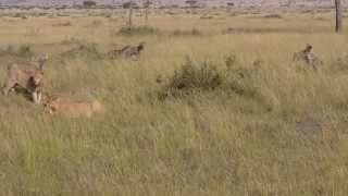 getlinkyoutube.com-Lions vs Hyenas