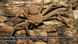 getlinkyoutube.com-5 Venomous Spiders That Might Be Living In Your Home Right Now!!
