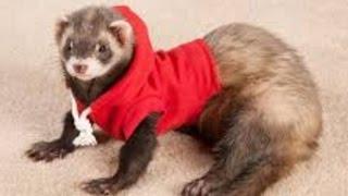 getlinkyoutube.com-Ferret - A Funny Ferret And Cute Ferret Videos Compilation || NEW HD