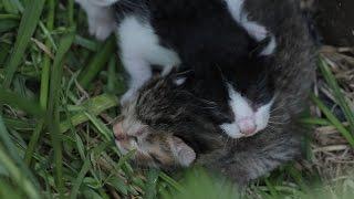 2015 5 3 野良子猫 生後約2日赤ちゃん猫 Old about 2 days Cute Tiny kitten【野良猫観察記】
