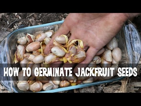 How to Germinate Jackfruit Seeds