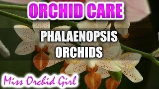How to care for Phalaenopsis Orchids - Watering, fertilizing, reblooming