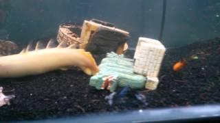 getlinkyoutube.com-Feeding Flowerhorn . silver arowana. Giant gourami