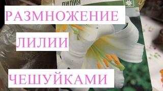 Размножение лилии чешуйками. Много бесплатных луковиц из одной!