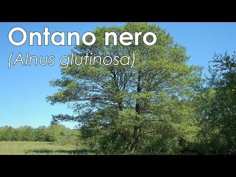 Ontano nero (Alnus glutinosa)