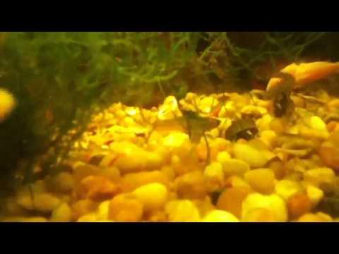 Wild guppy mating