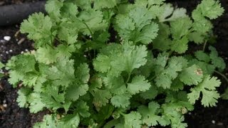 getlinkyoutube.com-How to plant cilantro from seed
