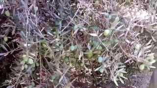 getlinkyoutube.com-تقليم شجرة الزيتون أهم العوامل المؤثرة في المحصول. م. صبحي ليلة.