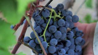 Grape Harvesting in Nemea