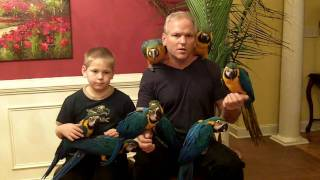 getlinkyoutube.com-Hand Fed Baby Blue & Gold Macaws for Sale