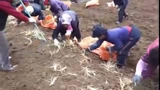 getlinkyoutube.com-Thu hoạch Nhân Sâm Hàn Quốc bằng máy chuyên dụng- Bách Niên Khang