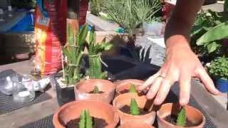 getlinkyoutube.com-Growing Dragon Fruit (Pitaya) in UK