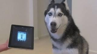 getlinkyoutube.com-Husky Dog Sings with iPAD - Better than Bieber! (now on iTunes!)