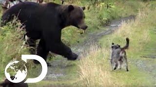 getlinkyoutube.com-Dogs vs Grizzly Bears - Weird, True & Freaky
