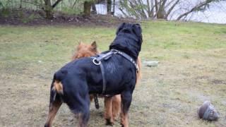 getlinkyoutube.com-Rottweiler vs Chow chow mix
