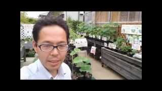 getlinkyoutube.com-発芽した蓮のたねを土に植え付けします(浮かせる)