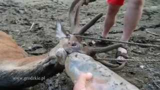 Ratujemy jelenia z pilchowickiego bagna...