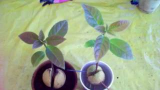 getlinkyoutube.com-When to transplant avocado seeds to a container.