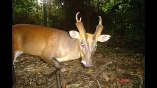 getlinkyoutube.com-WWF-Malaysia Camera Trap Photos from Wildlife Monitoring Unit (WMU)