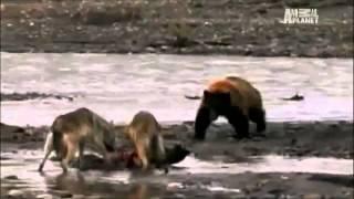 getlinkyoutube.com-最強動物戦い Animal Fight. ワニvsカバ、チータvsライオン、クマ