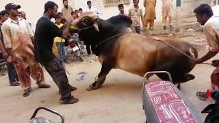 Out of Control Danger Black Bull Qurbani | Bakra Eid 2016 Karachi | خطرناک بیل کی قربانی