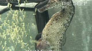 getlinkyoutube.com-Male seahorse giving birth at The Deep Hull