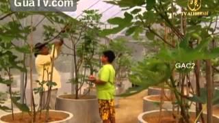 getlinkyoutube.com-Pokok Tin di Malaysia