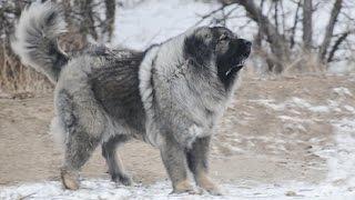 getlinkyoutube.com-The Magnificent Breed of Caucasian Shepherd Dog (Documentary in HD!!!)