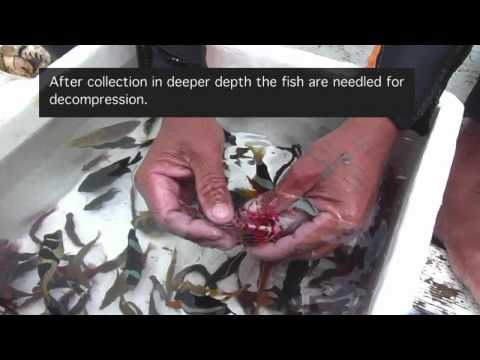 Aquarium Fishery Methods in the Philippines