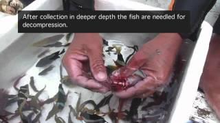 getlinkyoutube.com-Aquarium Fishery Methods in the Philippines