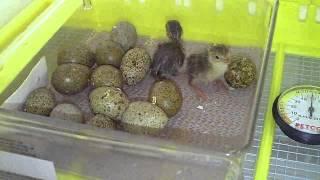 getlinkyoutube.com-I ordered Harlequin Quail Eggs, 3 Hatched.