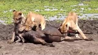 Lions Eats Testicles While Still Alive (GRAPHIC)