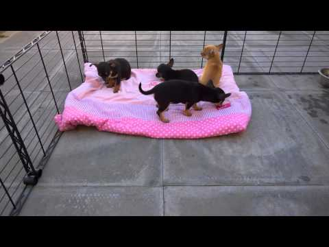 Watch the Charlie x Penny Chihuahua Puppies 9 Weeks Old video