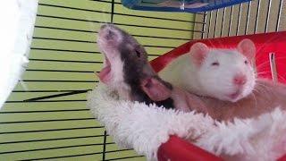 Cute pet  rats 🐀