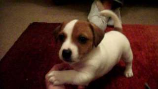 getlinkyoutube.com-My jack russell called Archy